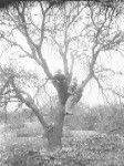 Girl with Minnie Irwin posed in a winter tree. Around Buckhorn  Ranch, Lampasas County, TX. Western History Collections, University of Oklahoma Libraries, Irwin Brothers Studio Collection, Early Scenes