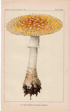 1897 poisonous mushroom illustration