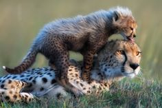Kenya, Narok County, Masai Mara, Female cheetah (Acinonyx jubatus) with male cub