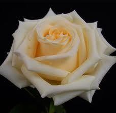 Creme de la Creme Rose *Cream rose for the girls bouquets
