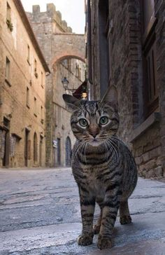 Curious cat by Stefano Moschini. Tabby cat on European Street. I Love Cats, Crazy Cats, Cool Cats, Beautiful Cats, Animals Beautiful, Cute Animals, Chat Maine Coon, Gatos Cats, Photo Chat