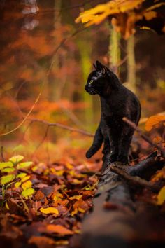 Black cat in forest - Animal Art Warrior Cats, Crazy Cat Lady, Crazy Cats, Beautiful Cats, Animals Beautiful, Pretty Cats, I Love Cats, Cute Cats, Animals And Pets