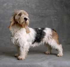 petit basset griffon vendeen - Google Search