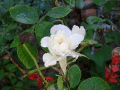 White un named Rose - In the Gardens Today 7-08-2013