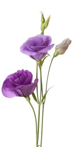 Lisianthus / Eustoma – Famous Last Words Botanical Flowers, Flowers Nature, Exotic Flowers, Real Flowers, Paper Flowers, Beautiful Flowers, Lisianthus Flowers, Light Purple Flowers, Purple Flower Photos