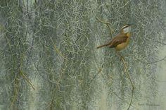 Song of the South - Carolina Wren by Robert Bateman