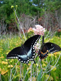 Spicebush Swallowtail (Papilio Troilo)