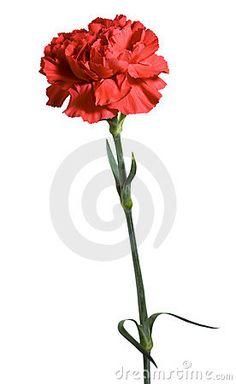 Un clavel rojo. Fondo blanco.