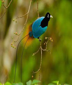 Blue bird of paradise (Paradisaea Rudolphi ) Papua New Guinea . ©Tim Laman