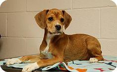 Salem, WV - Beagle/Boxer Mix. Meet Dixie, a puppy for adoption. http://www.adoptapet.com/pet/15005462-salem-west-virginia-beagle-mix