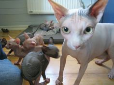 Sphynx queen with kittens