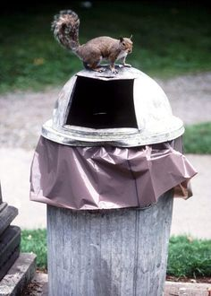 Stray domesticated and wild animals that roam freely are drawn to the scent of food waste in garbage cans. Raccoons, squirrels and neighborhood dogs will knock over and rip open. Squirrel Repellant, Raccoon Repellent, Get Rid Of Squirrels, Garden Bugs, Garbage Can, Outdoor Landscaping, Homemade Dog, The Great Outdoors, Canning