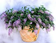 """Buddleia Lavender Veil is a compact grower that grows very low to the ground and bears abundant lavender fragrant flushes. This beauty attracts butterflies and hummingbirds with flowers that spill from containers, hanging baskets or look fabulous in your landscape as a groundcover, or in rock gardens, or perennial and cottage gardens. Zone 5-10."""" Hanging Flower Baskets, Hanging Pots, Landscaping Plants, Garden Plants, Container Plants, Container Gardening, Zone 10 Plants, Hummingbird Garden, Low Maintenance Plants"""