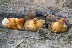 To benefit from the products chickens can bring to a permaculture gardener, all the chickens' needs should be met. Learn how to achieve this