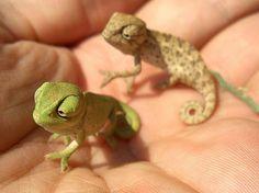 ahhhhh!!!!! baby chameleons