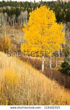 Single Aspen Tree in the Fall by Randy Judkins, via ShutterStock-- tattoo idea