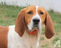 walker coon hound | Treeing Walker Coonhound