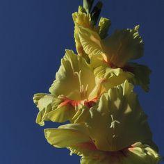 Garten Gladiole Bluete gelb Gladiolus x hortulanus