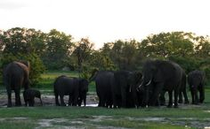 Zimbabwe Elephants May Have Been Poisoned by Park Rangers, Not Poachers | During the month of October, more than 60 elephants were poisoned with cyanide in Zimbabwe. In the most recent killings, rangers found 22 dead elephants in Hwange Park the morning of Oct. 26.  Just two weeks earlier, the carcasses of 26 poisoned elephants were found in two locations.These killings aren't some terrible new trend. During 2013, 300 elephants died from cyanide poisoning in Hwange.