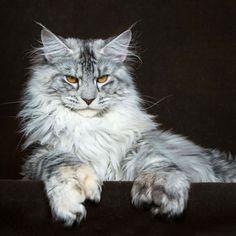 Robert Sijka Captures The Fierce Beauty of Maine Coons Cats