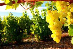 Bioweine aus der Region Languedoc. Kurzer Abriss über die Sorten, Böden und warum wir Bioweine trinken verlinkt auf einen Blog unserer Bioweine
