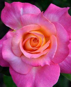 Rosa rosada con un centro anaranjado