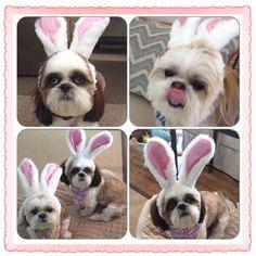 Easter Bunnie...Shih