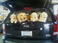 """This is Betty's Golden Retriever, """"Twin Beau D's Telcey C. Telcey had 11 beautiful Golden Retriever babies! Funny Dog Photos, Funny Dogs, Puppies, Pets, Sweet, Animals, Candy, Funny Dog Pictures, Cubs"""