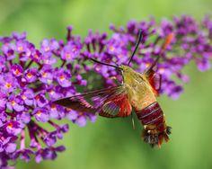 hummingbird-clearwing-hemaris-thysbe-5.jpg 1,200×956 pixels