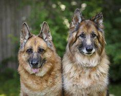 German Shepherd Family Portrait by Kristin Castenschiold on 500px