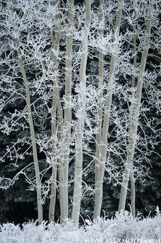 Frosted Aspens  Manti-La Sal National Forest, Utah  Alex Mody