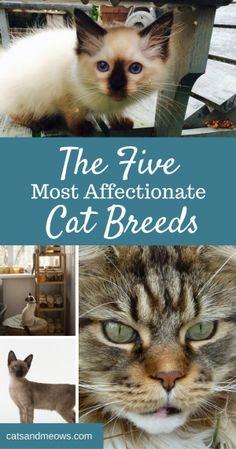 Are you looking for an affectionate Cat breed?  Here are 5 of the most affectionate cat breeds.  We love the Rag Dolls!