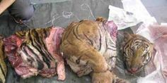 MORE SIGNATURES NEEDED Protect Tigers, others from being butchered!