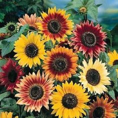 Autumn Beauty Sunflowers ... multi-branching sunflowers ... 50+ flowers on one plant ... beautiful!