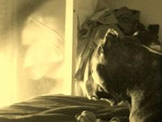 Staffordshire bull terrier DE mosketon TRASTETE