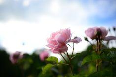 Photo By jhmillard | Pixabay   #rose #flower #garden #decoration #decoração #decoracao #decorations #decoracion