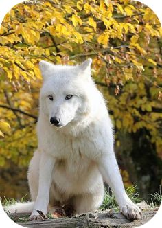 Archer- Arctic Wolf, Male, 2 years