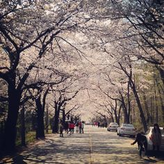 "@Graham Budd's photo: ""#cherryblossom in Seoraksan National Park. #spring #nature #korea #trees #seasons #한국 #속조"""