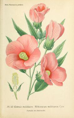 gravures fleurs de jardin - gravure de fleur de jardin 0105 ketmie militaire - hibiscus militaris - Gravures, illustrations, dessins, images