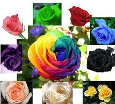 10 Colors Mix Rose Seeds Plant total 200 Seeds Colourful Flower Home Yard Garden Easy to Survive #Affiliate