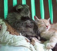 """This damn raccoon that won't just leave this cat ALONE: 