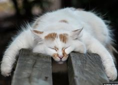 """A little drowsing cat is an image of perfect beatitude."" --Jules Champfleury"