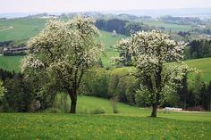 Die Jahrhunderte alten Birnbäume - der Reichtum des Mostviertels © Copyright Monika Fuchs, TravelWorldOnline #mostviertel #austria #österreich