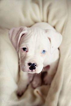 Sweet white Pup...Blue Eye
