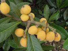 Japanese plum, or loquats, are a delicious fruit tree worth growing, even in many cold climates. This relative of peach is tasty, and easy to grow. Japanese Plum Tree, Chinese Fruit, Loquat Tree, Fruit Picture, Kinds Of Fruits, Green Fruit, Orange Fruit, Orange Yellow, Plum Flowers