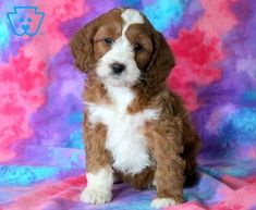 Hollister | Cockapoo Puppy For Sale | Keystone Puppies
