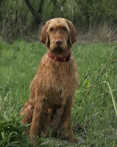 The Wirehaired Vizsla is one of the youngest European breeds, having only been created in the 1930's. By that time, Hungarian sportsmen had begun to desire a dog which was similar to their beloved Vizsla, but more capable of working in cold climates and retrieving birds from icy water. The Wirehaired Vizsla is also known as the Hungarian Wirehaired Pointing Dog, the Hungarian Wirehaired Pointer, and the Drotzoru Magyar Vizsla.