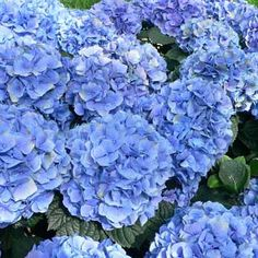 12 Deadliest Garden Plants ...This is one of them -Hydrangea (Hydrangea macrophylla), we all grow some type of plants that shouldn't be eaten ...so keep an eye on very young children and pets in the garden!