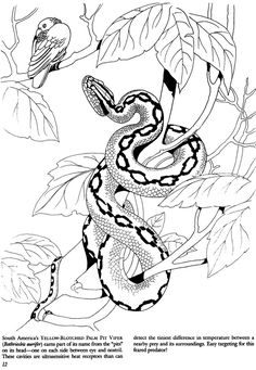 yellow-blotched palm pit viper coloring page Snake Coloring Pages, Dover Coloring Pages, Colouring Pics, Adult Coloring Pages, Coloring Books, Animal Sketches, Animal Drawings, Snake Art, Frog Art