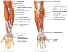 Upper Extremity Muscle And Tendon Anatomy Anterior Superficial View And Posterior Superficial View Elbow Anatomy, Wrist Anatomy, Upper Limb Anatomy, Anatomy Bones, Hand Anatomy, Body Anatomy, Anatomy Drawing, Anatomy Art, Forearm Muscle Anatomy